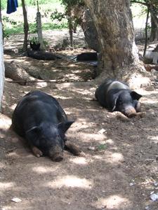 Schweine in Kenia